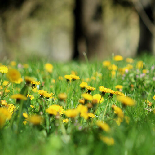 Want to Help Bees? Leave the Dandelions Alone This Spring